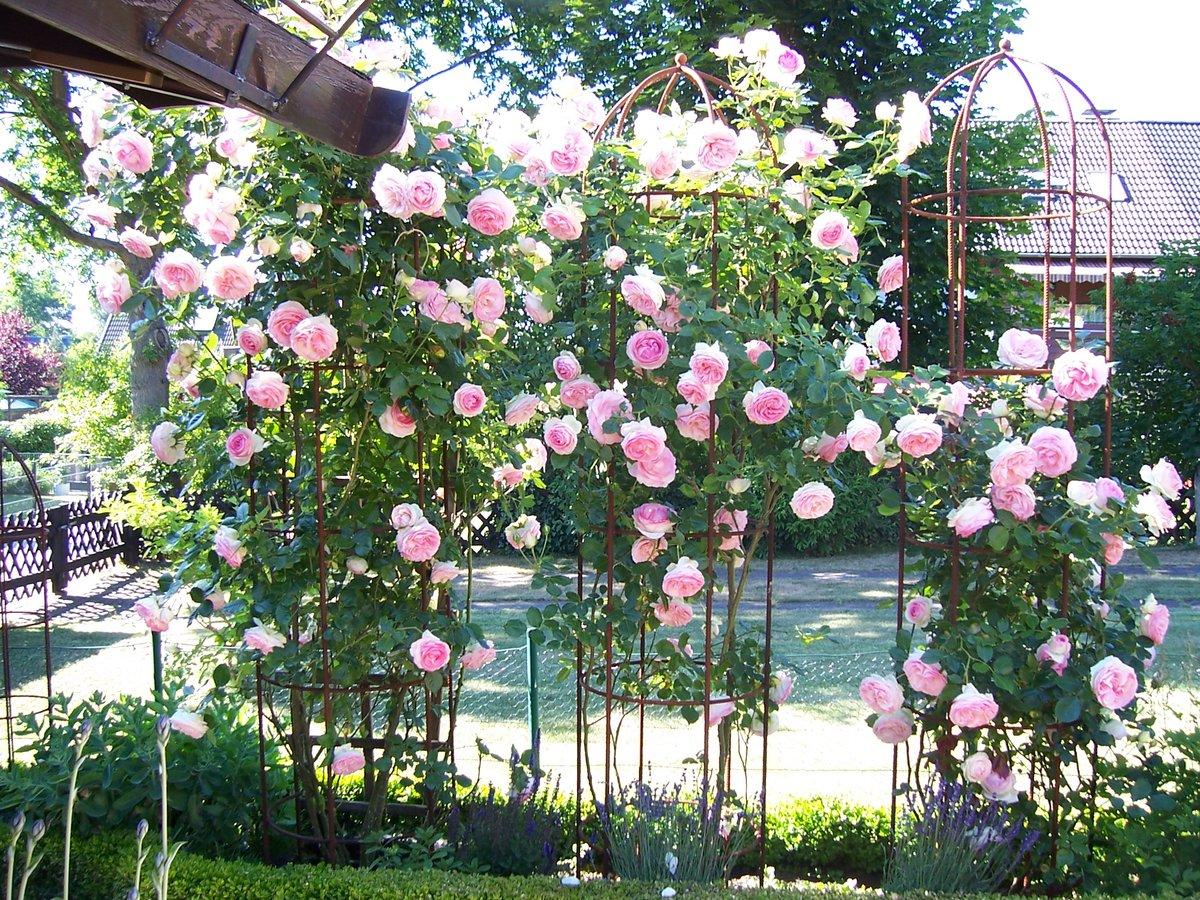 Klettergerüst Rosen : Eden rose 85 pierre de ronsard online kaufen bei schmid