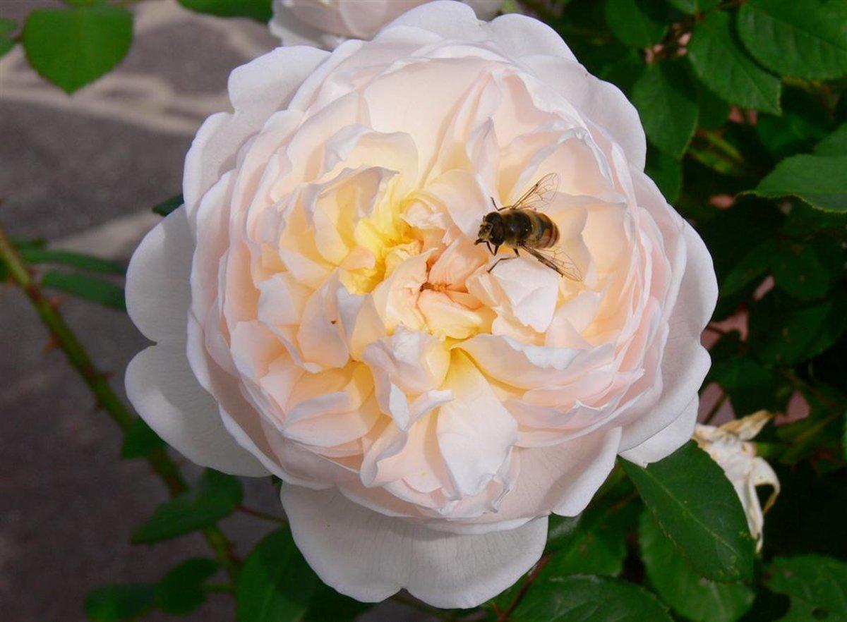 rose 39 glamis castle 39 rosen bei schmid gartenpflanzen online kaufen. Black Bedroom Furniture Sets. Home Design Ideas