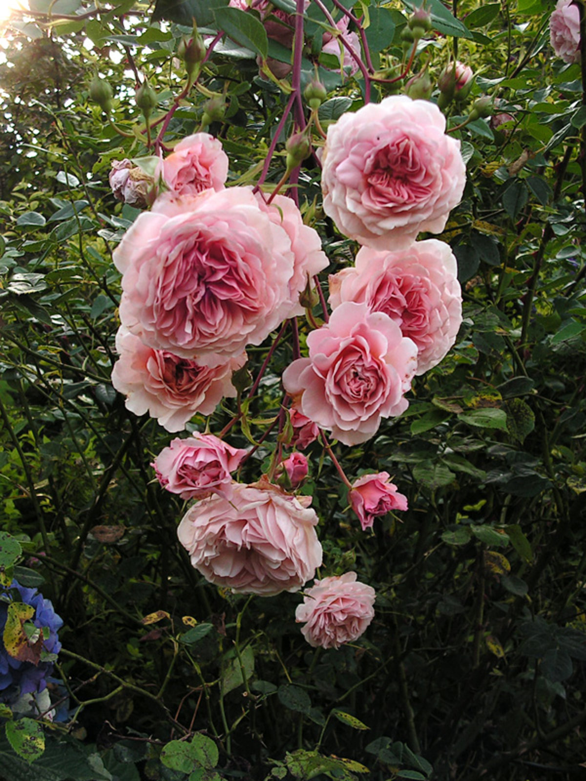 rose 39 william morris 39 rosen bei schmid gartenpflanzen online kaufen. Black Bedroom Furniture Sets. Home Design Ideas