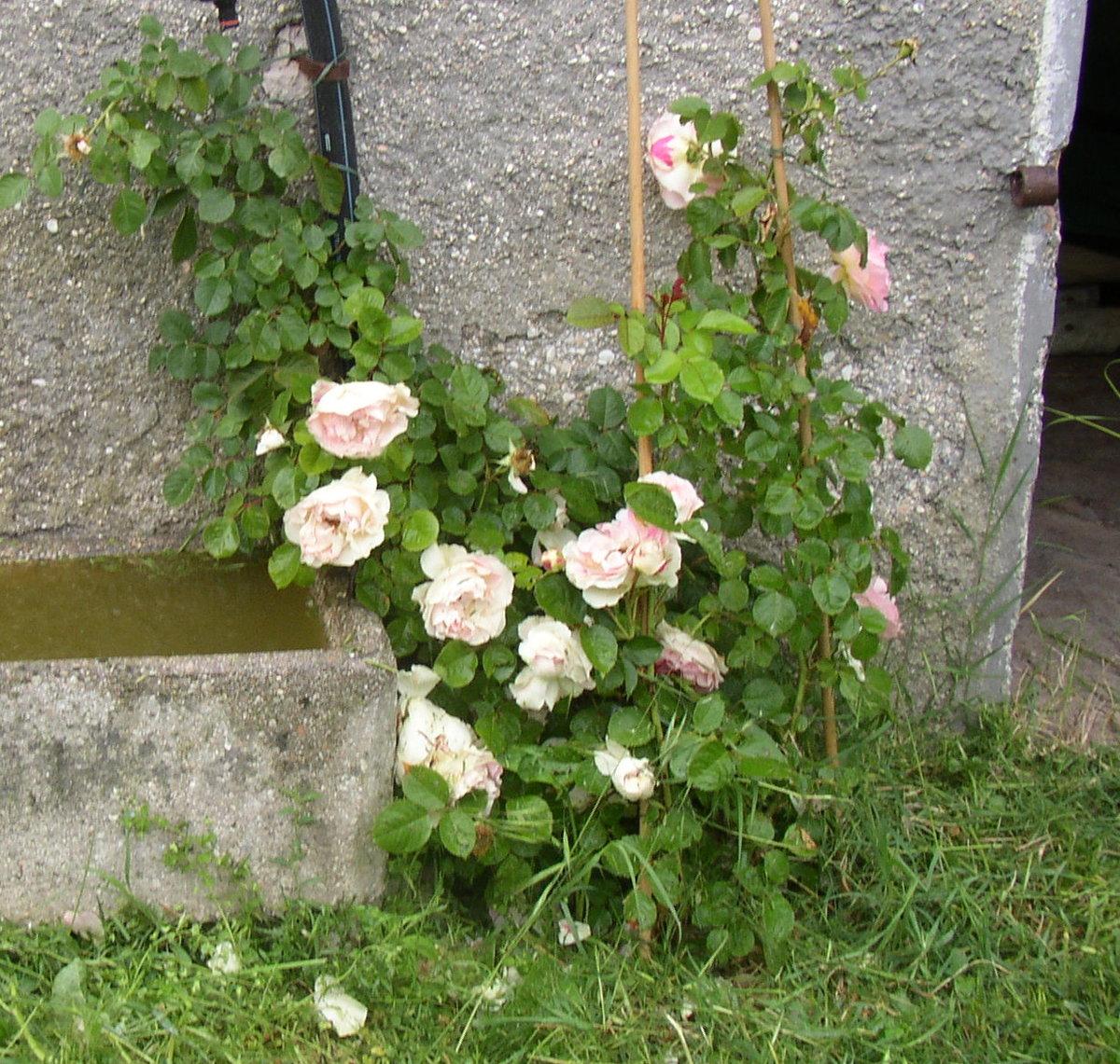 rose 39 c sar 39 rosen bei schmid gartenpflanzen online kaufen. Black Bedroom Furniture Sets. Home Design Ideas