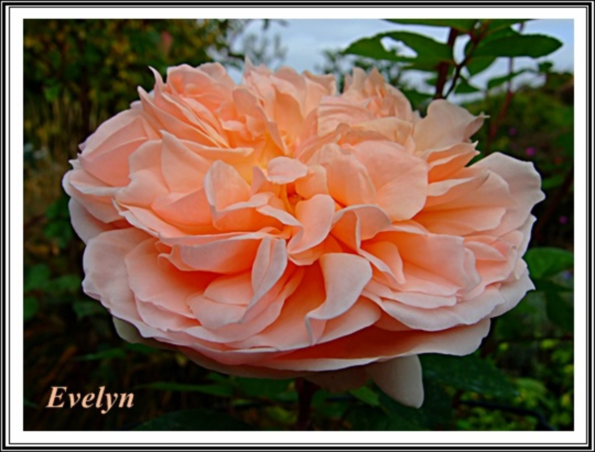 rose 39 evelyn 39 rosen bei schmid gartenpflanzen online kaufen. Black Bedroom Furniture Sets. Home Design Ideas