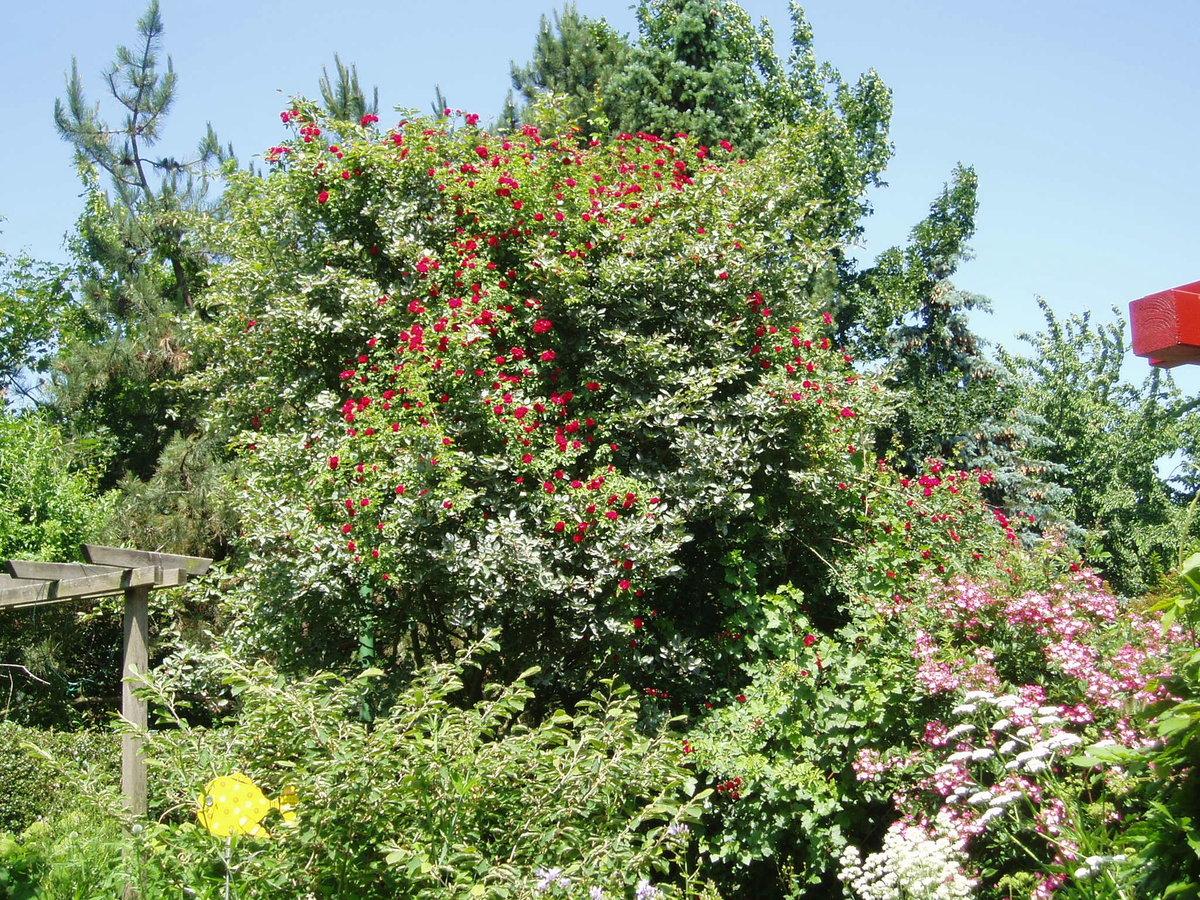 rose 39 chevy chase 39 rosen bei schmid gartenpflanzen online kaufen. Black Bedroom Furniture Sets. Home Design Ideas