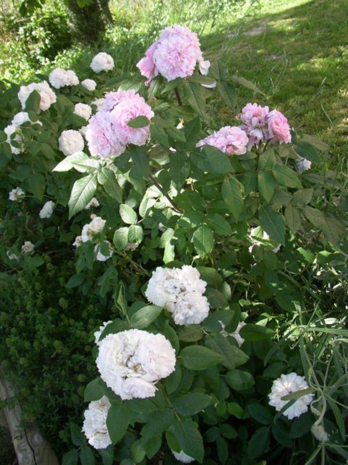 rose 39 wei e jacques cartier 39 rosen bei schmid gartenpflanzen online kaufen. Black Bedroom Furniture Sets. Home Design Ideas