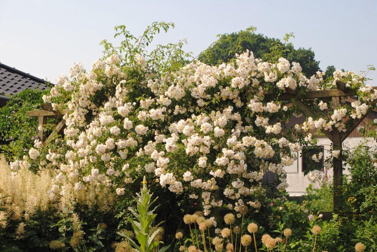 rose 39 lykkefund 39 rosen bei schmid gartenpflanzen online kaufen. Black Bedroom Furniture Sets. Home Design Ideas