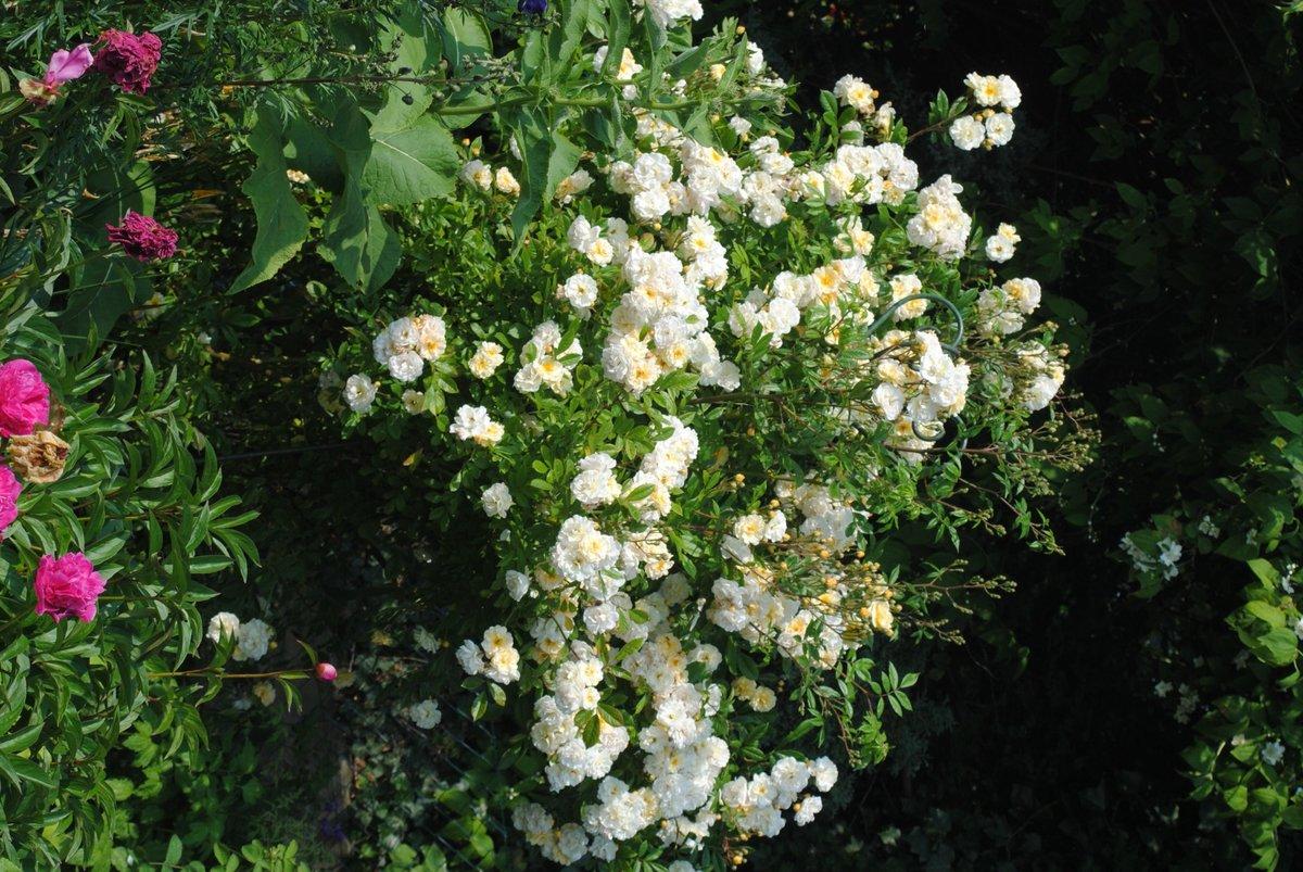 rose 39 ghislaine de f ligonde 39 rosen bei schmid gartenpflanzen online kaufen. Black Bedroom Furniture Sets. Home Design Ideas