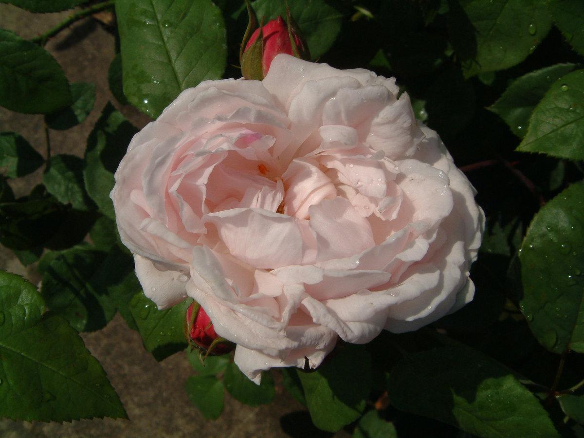 mary rose bilder und erfahrungen zur rose bei schmid gartenpflanzen. Black Bedroom Furniture Sets. Home Design Ideas