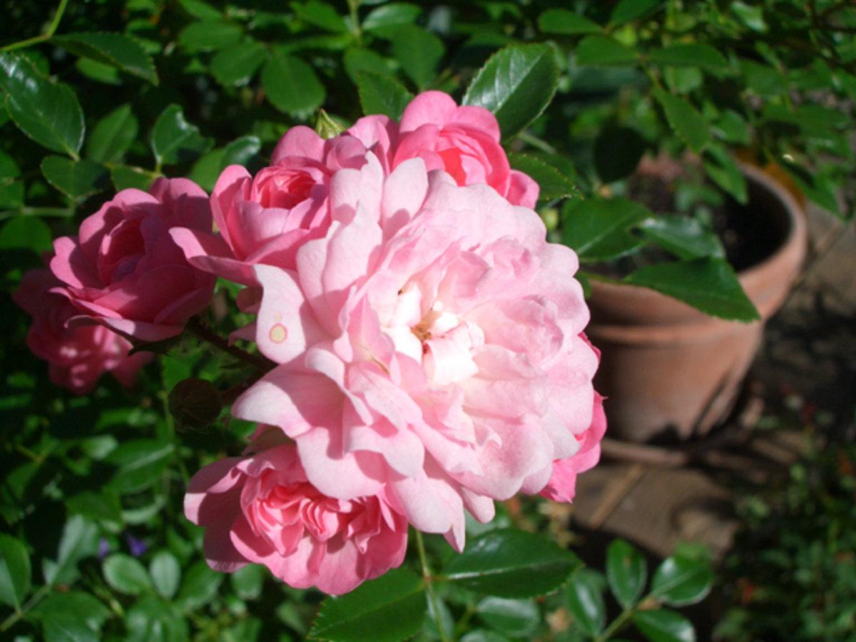 Rose The Fairy Rosen Bei Schmid Gartenpflanzen Online Kaufen